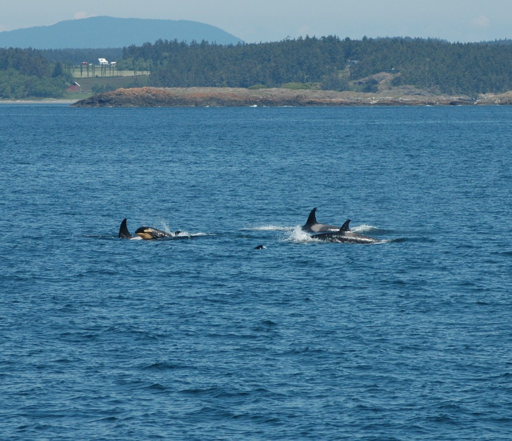 baby-orca-with-family