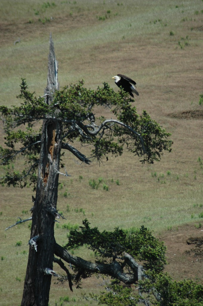 Bald Eagle off of Spieden Island