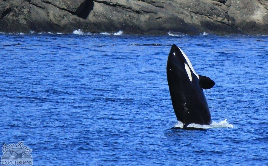 Orca whales in the San Juans