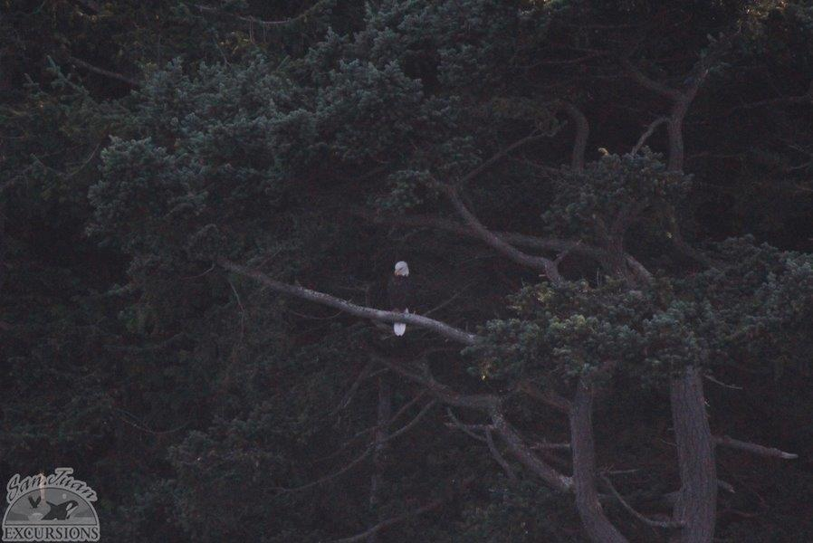A Bald Eagle looking for dinner