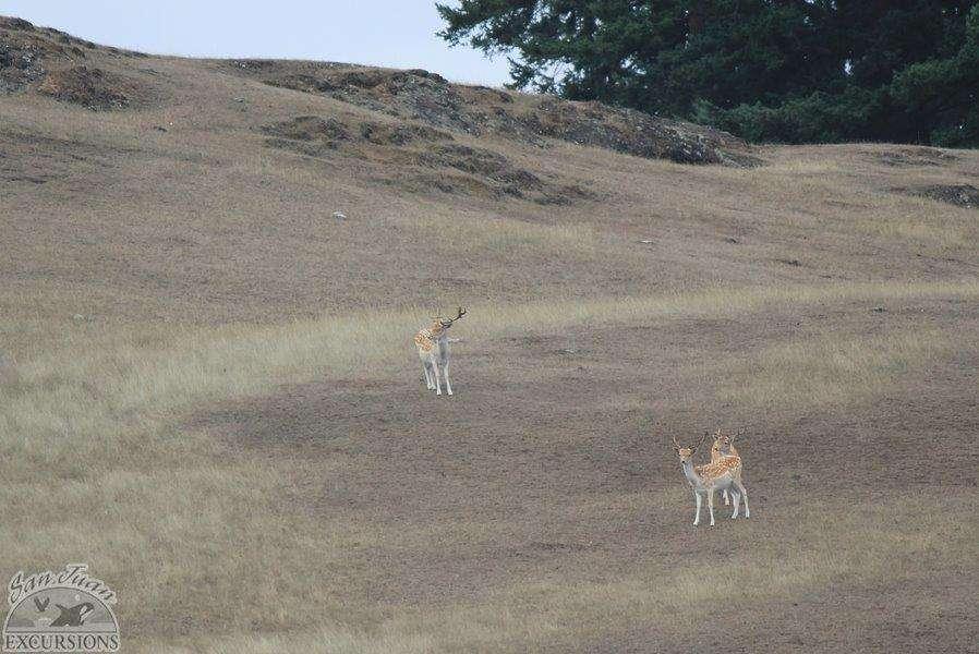 European Fallow Deer on Spieden Island